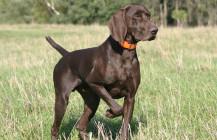 Asociația pentru câini pontatori din România